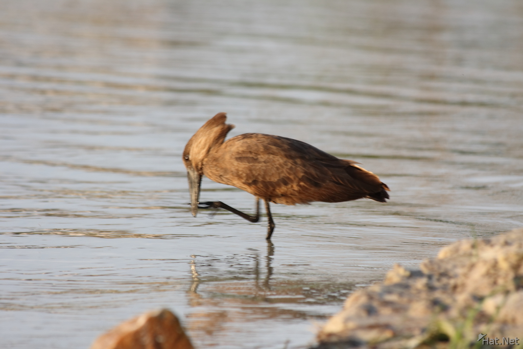 hammerkop licking foot