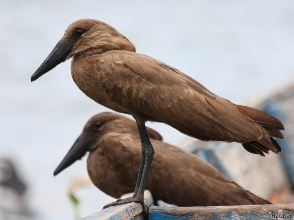 view--hammerkop husband and wife