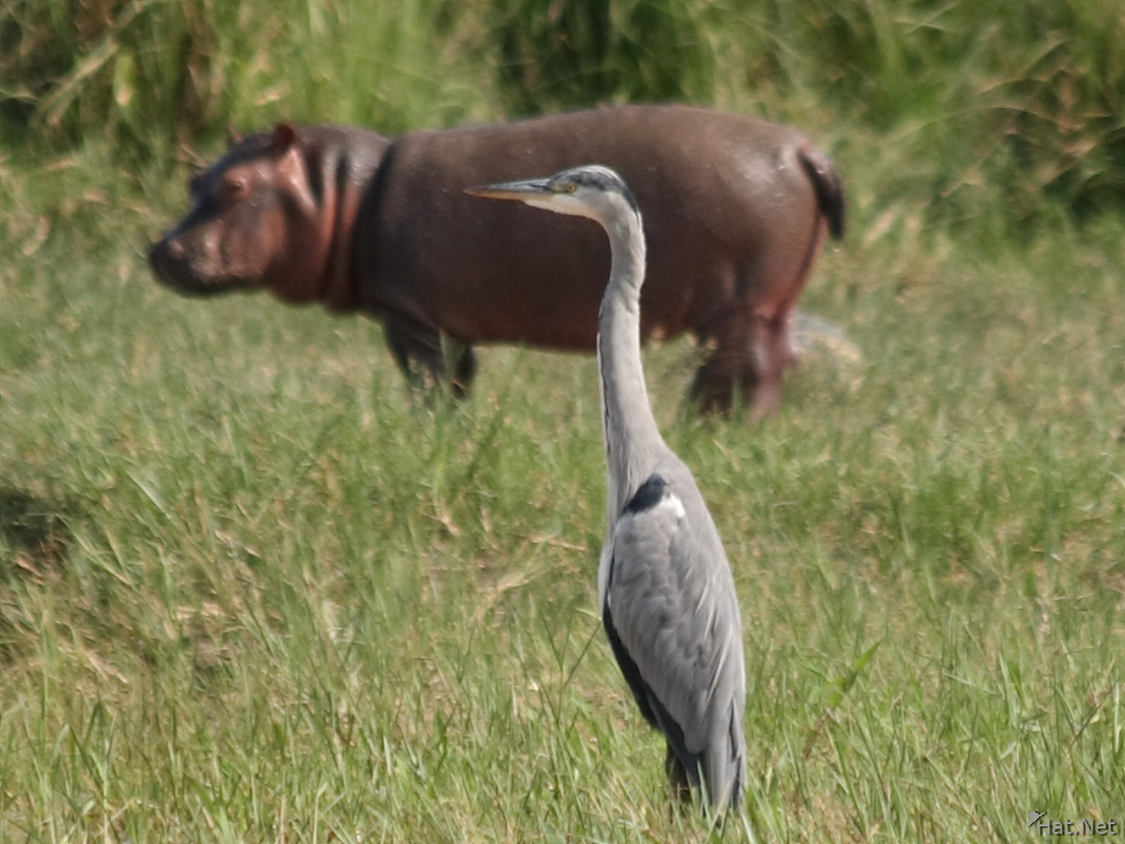 goliath heron and baby heron