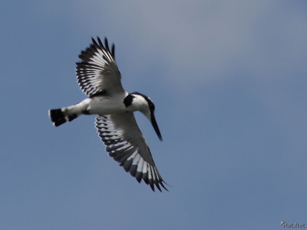 view--flying pied king fisher