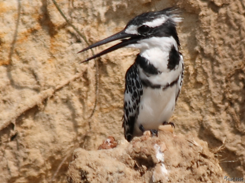 view--pied kingfisher against a cliff