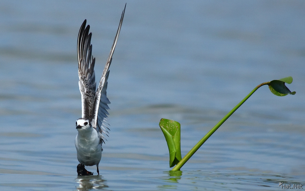 plover takes off