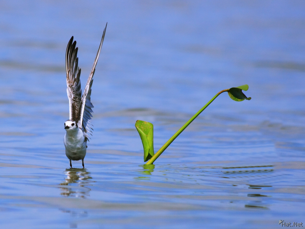 view--plover takes off