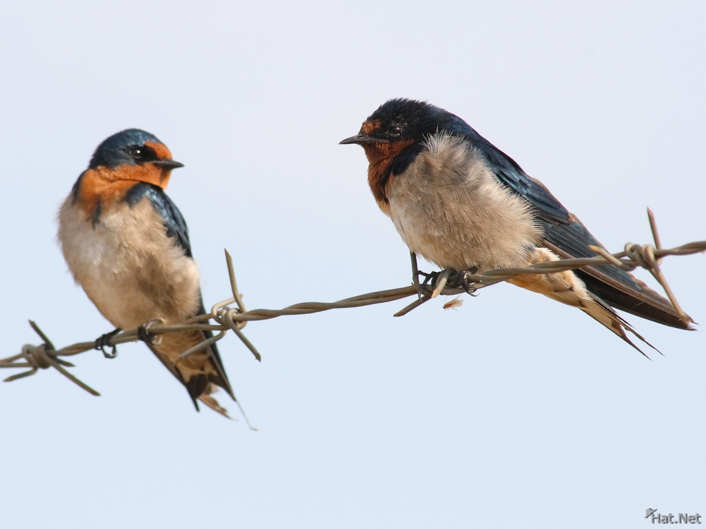 view--red rumped swallow