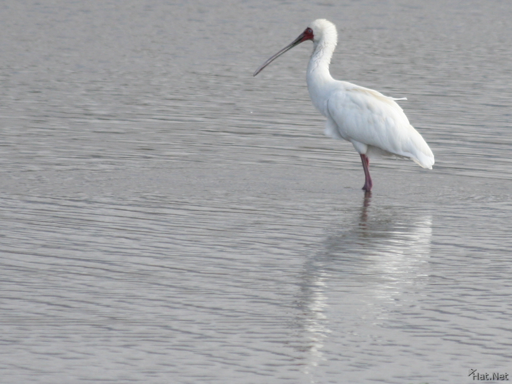 view--spoonbill