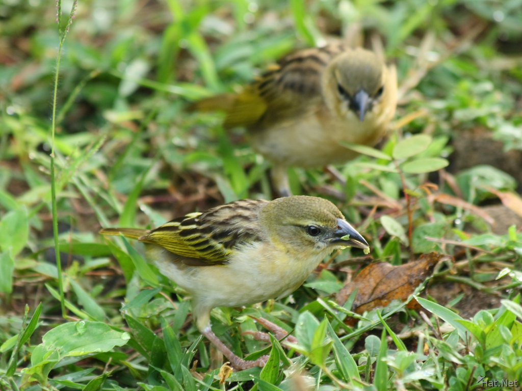 two golden weavers