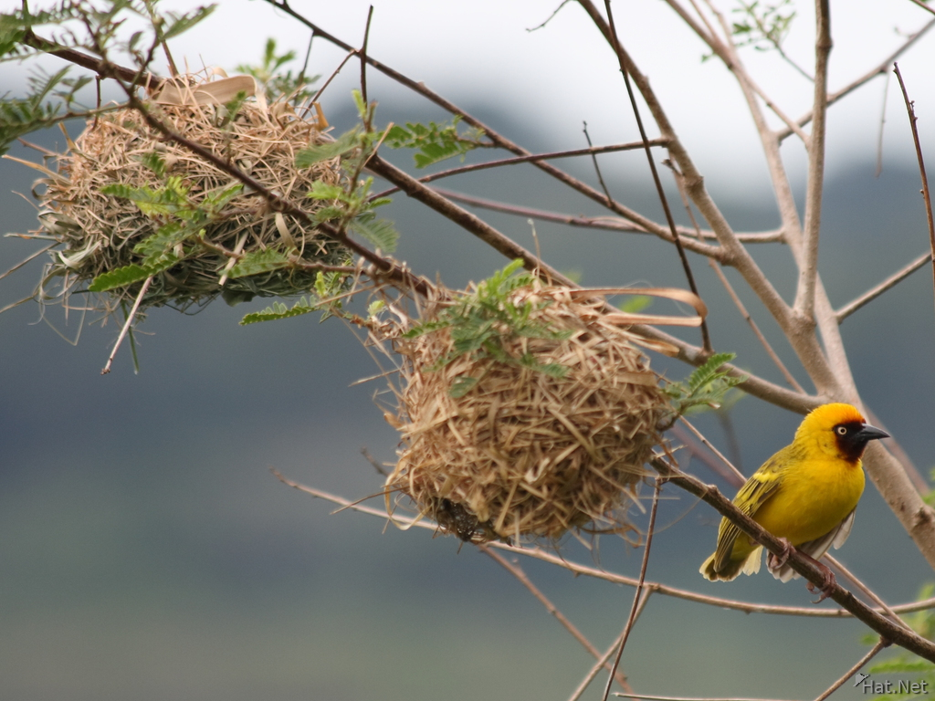 view--black-headed weaver