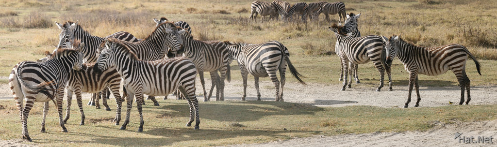 zebras of ngorongoro
