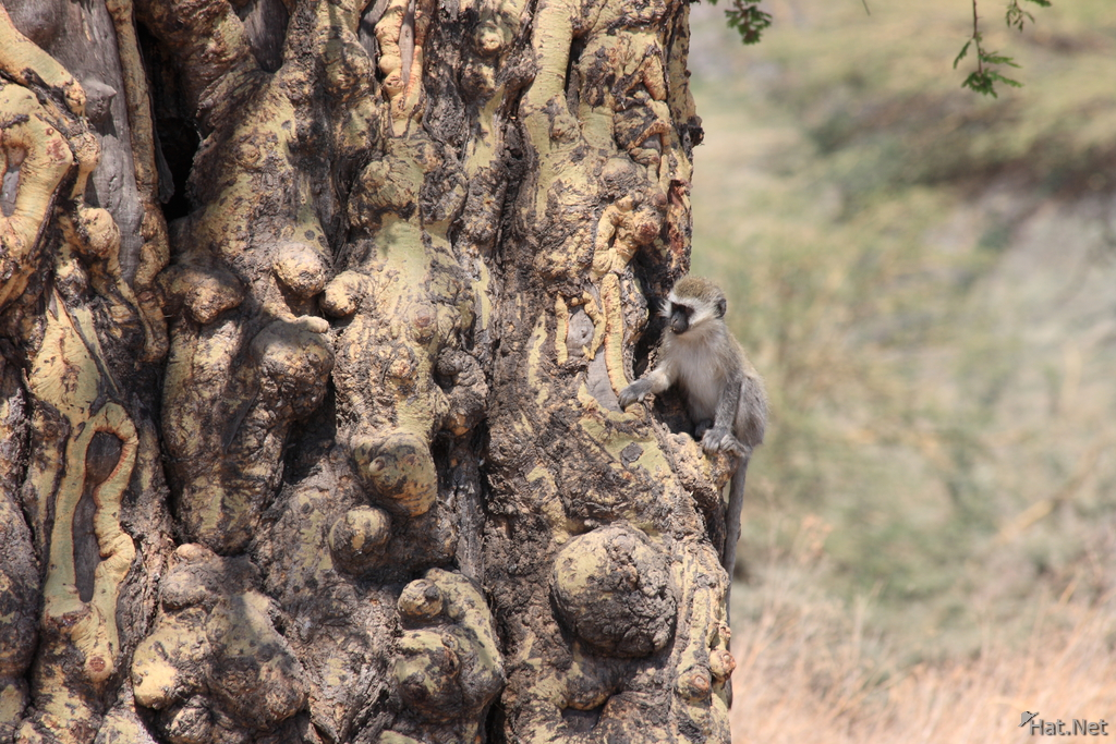 view--vervet monkey on fever tree