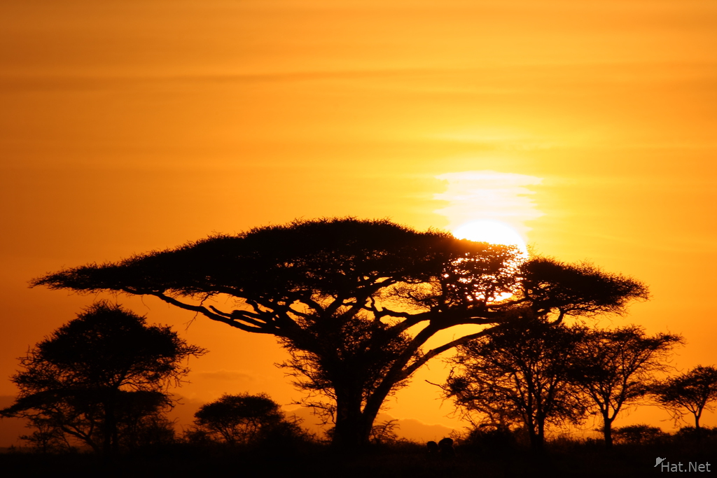 view--sunrise behind the acacia tree