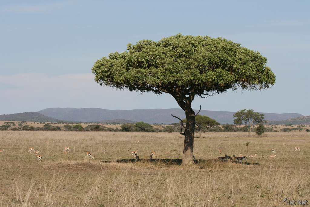 acacia tree and gazelles