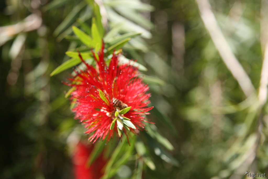 bottle brush tree and bee