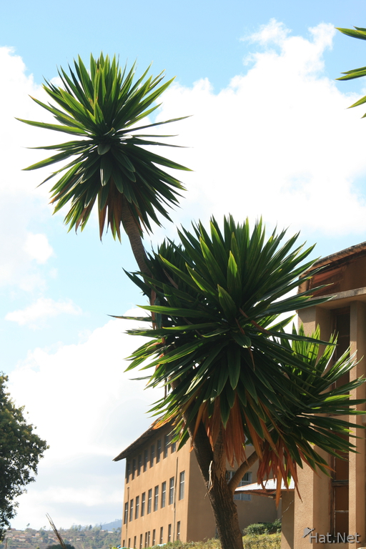 dragon palm tree