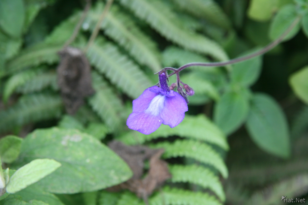 usambara violet can only be found in here and mexico