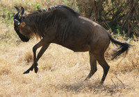 300_albert_the_wildebeest