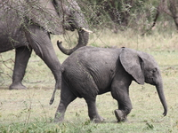 baby elephant Mwanza, East Africa, Tanzania, Africa