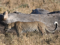 071003073750_leopard_hunting