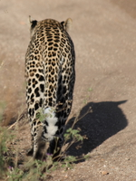 leopard backside Serengeti, Ngorongoro, East Africa, Tanzania, Africa