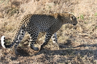 071003074110_leopard_walking