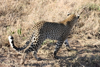 071003074112_leopard_looking