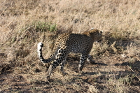 071003074114_leopard_fleeing