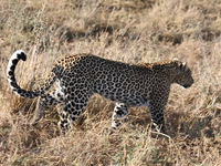 071003074157_leopard_crossing