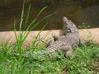 nile crocodile in nairobi snake park - take a swim Nairobi, East Africa, Kenya, Africa