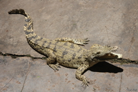 071011125932_view--albano_crocodile