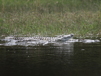 nile crocodile in river nile Murchison Falls, East Africa, Uganda, Africa