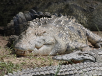 070925104151_nile_crocodile_napping