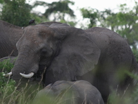 elephants_of_uganda
