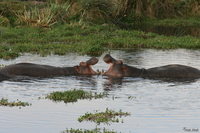 071004075312_view--hippopotamus_love_fest