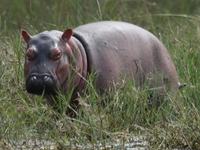 maggie the baby hippo Murchison Falls, East Africa, Uganda, Africa