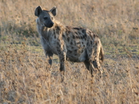 071003064958_spotted_hyena