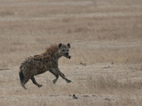 hyena eating and running Ngorongoro Crater, Arusha, East Africa, Tanzania, Africa
