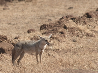 071004091936_golden_jackal
