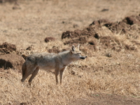 071004091948_golden_jackal