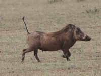 warhog with pointed tail Mwanza, East Africa, Tanzania, Africa