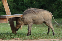 warthog bum his head on the bench Murchison Falls, East Africa, Uganda, Africa