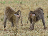 baboons_of_serengeti