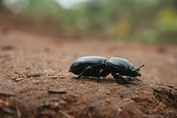 dung beetle Mtae, Ushoto, East Africa, Tanzania, Africa