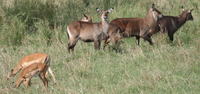gazelles and waterbuck Mwanza, East Africa, Tanzania, Africa
