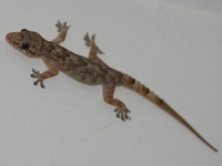 070928233150_gecko_in_hotel_room_on_ssese_island