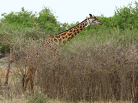 giraffes_of_serengeti