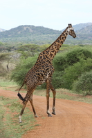 071002150040_masai_giraffe_crossing