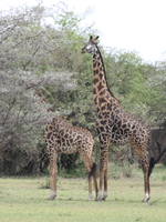 071002151108_giraffe_couple