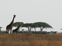 071003082045_two_giraffes