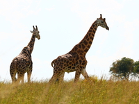 070925151913_two_giraffes_in_murchison_falls
