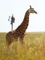 070925152029_guarding_giraffe