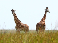 070925152137_giraffe_couple